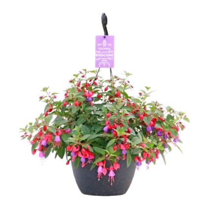 Hanging Basket- Fuchsia Shade Greenhouse