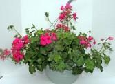 Hanging Basket Geranium