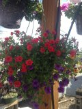 Hanging Basket Mixed beauty