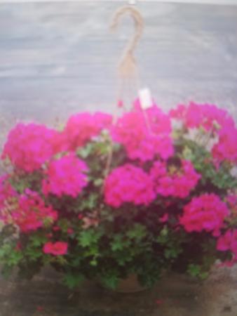 Hanging Basket of Flowers Outdoor