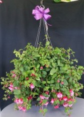 Hanging Basket *Limited*  Plant