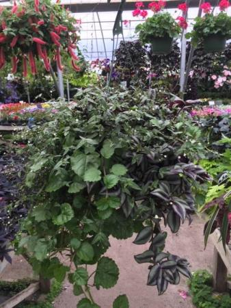Hanging Basket- Shade Greenhouse