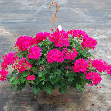 hanging basket with summer annuals blooming plant