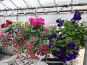 Hanging Baskets  in Gladwin, MI | Lyle's Flowers & Greenhouses