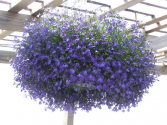 Hanging Baskets Part Sun (lobelia is pictured)