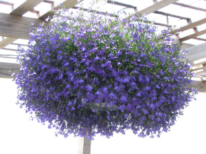 Hanging Baskets Part Sun (lobelia is pictured) in Cherokee, IA | Blooming House
