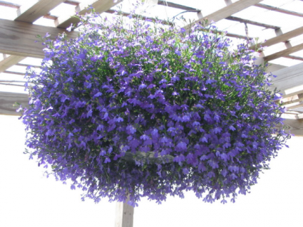 Hanging Baskets Part Sun Lobelia Is Pictured In Cherokee Ia