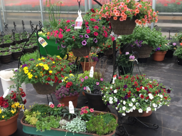 Hanging Baskets for sunny area Outdoor Plants