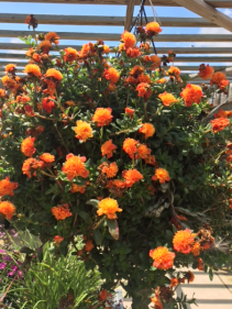Hanging Baskets Full Sun (Portulaca is pictured)