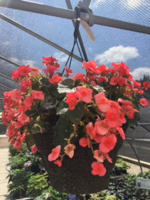 Hanging Baskets Shade (Rieger Begonia is pictured
