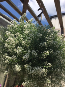 Hanging Baskets Sun (Lobularia is pictured)