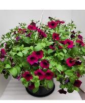 Hanging Bloomers  Petunia Basket Petunia Hanging Basket