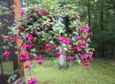 Hanging Fuchsia (call for sizes and colors) Hanging Potted Plant