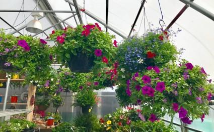 Hanging Gardens Annuals Shade Basket In Balsam Lake Wi Balsam