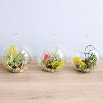 Hanging Glass Terrarium Tillandsia Air Plants