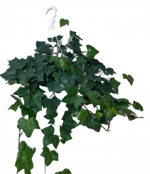 Hanging Ivy Green Plant