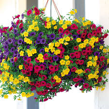 Hanging Million Bell Baskets  in Whitehall, PA | PRECIOUS PETALS FLORIST
