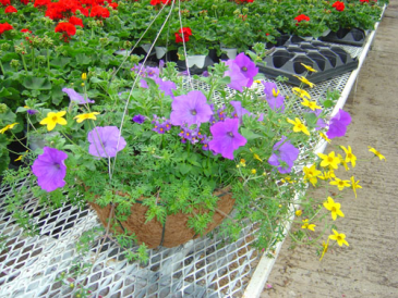 Hanging outdoor basket Mixed annuals in Hanging basket