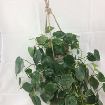 "4"" Hanging Heart Leaf Philodendron in Ceramic Pot"