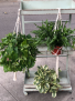 Hanging plants In a Macramé hanger