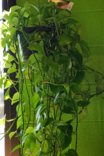 Hanging Pothos House Plant - Currently In Stock
