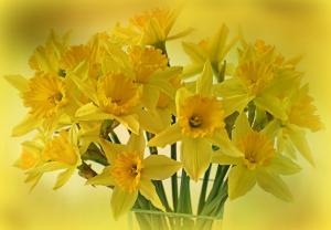 Happy Daffodiles  in Osoyoos, BC   Osoyoos Flowers