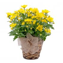 Happy Days Chrysanthemum Plant