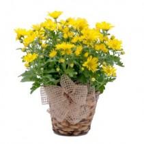 Happy Days Plant