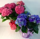 Happy Hydrangea Blooming Plant