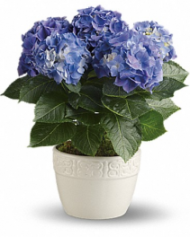 Happy Hydrangea-Blue Pot Arrangement