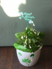 Happy St Patrick's Day  Blooming Plant