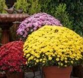 Hardy Chrysanthemum Potted Plants