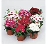 Hardy Dianthus Greenhouse