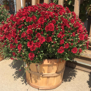 Hardy Mum Live Plants in Emporia, KS | RIVERSIDE GARDEN FLORIST