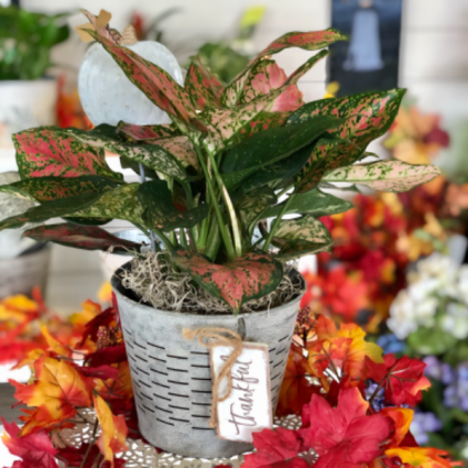 Harvest Houseplant Aglaonema