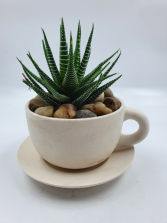 Haworthia Succulent in Teacup Planter