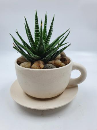 Haworthia Succulent in Teacup Planter