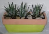 HAWORTHIA PLANTER Succulent Indoor Plant