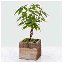 Health, Wealth, & Happiness Money Tree Plant