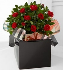 Heart of the Season Mini Rose