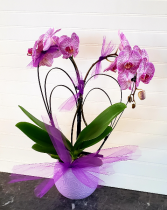 Heart Orchid Plant Exclusively at Mom & Pops