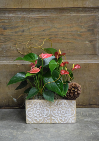 Heart Strings Double Antherium Planter
