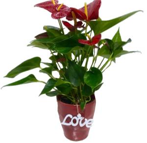 Hearts Anthurium  in Orlando, FL | Artistic East Orlando Florist