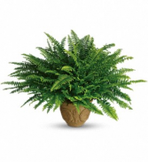 Heartwarming Thoughts Fern - 272 Green plant