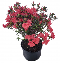 Hearty Azalea Flowering Plant