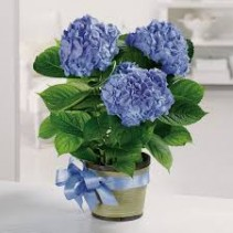 Heavenly Hydrangea Potted Blooming Plant