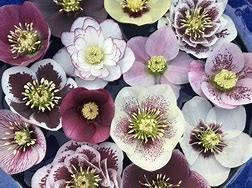 Helleborus ( Lenten Rose ) Greenhouse
