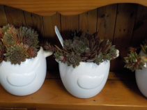Hens and Chicks in a Chick Ceramic Pot with succulents