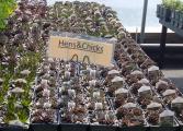 Hens & Chicks Perennial - Sun