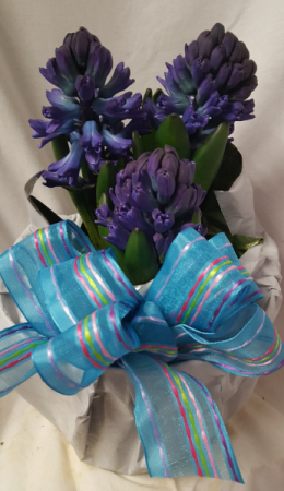 """Hyacinth 6"""" pot with foil and bow! Colors may vary Limited supply order early...colors may vary could be blue, pink or white"""